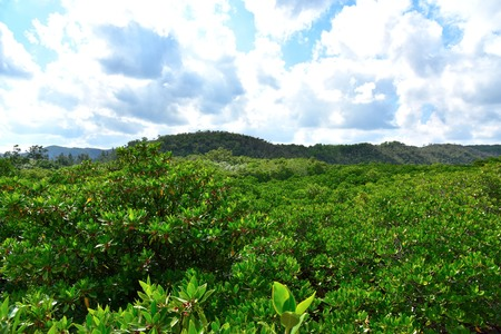 subtropical: Forest of the mangrove in Okinawa, Japan