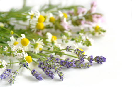 chamomiles: herbs