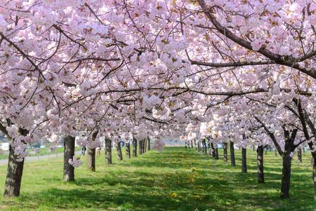 Kirschblütenbäume
