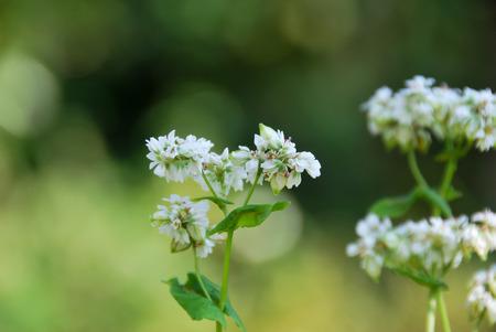 soba: soba flower