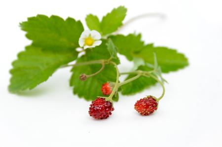 'wild strawberry: wild strawberry on white background