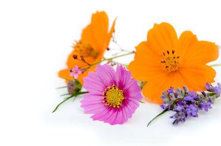 白い背景にコスモス、ラベンダーの花