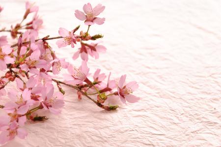 ピンクの紙の背景に桜の枝 写真素材