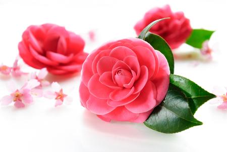 camellia: camellia and  cherry blossom
