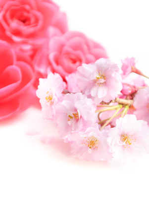 camellia: cherry blossom and camellia in white background Stock Photo