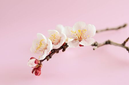 ume: ume branch in pink background Stock Photo