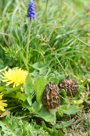 edible plant: morel mushroom with dandelion Stock Photo