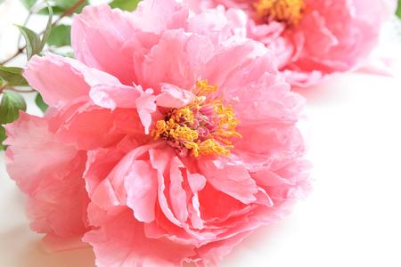 白地にピンクの牡丹の花 写真素材 - 59216765