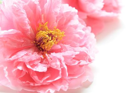 pink peony flowers on white background Standard-Bild