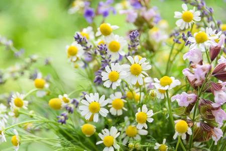 chamomile flowers Standard-Bild