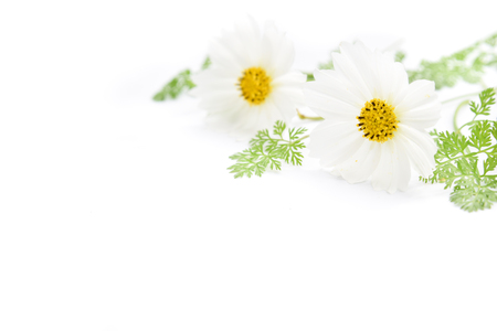 cosmos flowers and chervil leaves in white background Standard-Bild