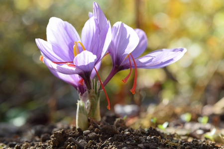 saffron flowers in autumn Standard-Bild