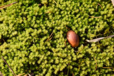 acorn on the moss