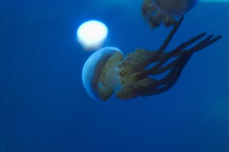 blubber: Jellyfish