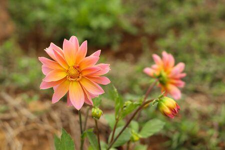 pink and orange color dalia flower closeup wallpper Фото со стока