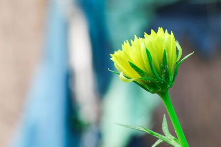 single yellow color dalia flower