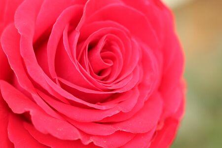 Macro photo of a red rose closeup Stock fotó