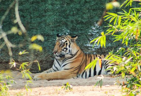 Tiger tigress panthera resting in a national park