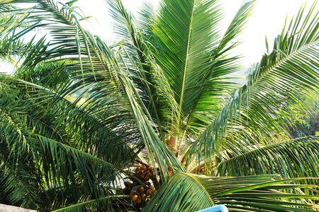 green coconut plant