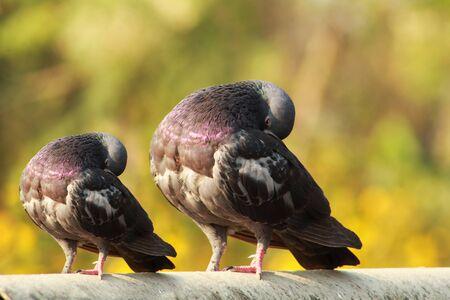 single pigeon sitting with a duplicate small size pegion Фото со стока