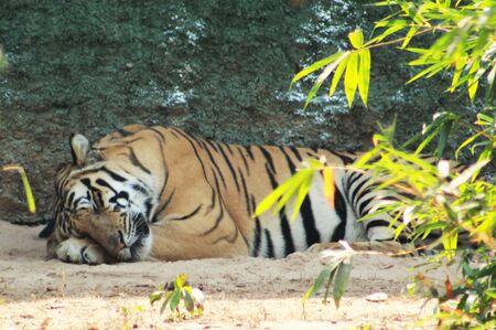 tiger or tigress sleeping Фото со стока