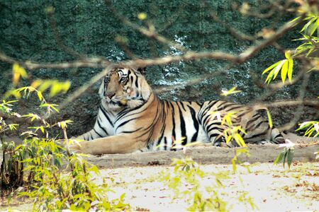 tiger resting in a park