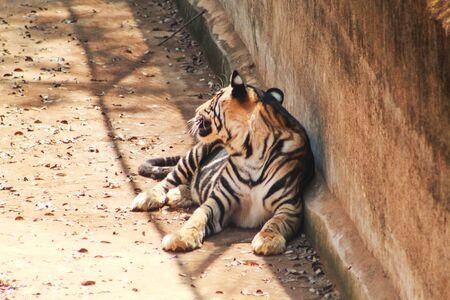 tiger tigress resting