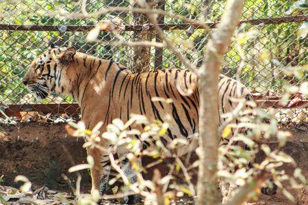 tiger tigress standing near a steel net