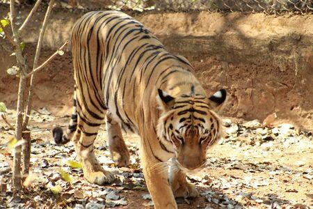 Tiger tigress panthera standing in a national park Фото со стока