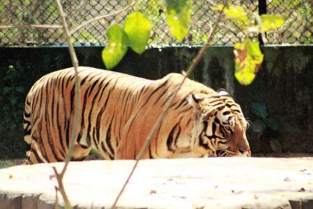 tiger tigris side view panthera Фото со стока