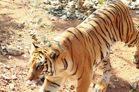 side view of tiger panthera tigris Фото со стока