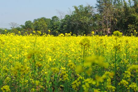 mustard agriculture farm in a village vibrant color flower with green leaf