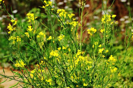 Mustard plant and flower in a garden