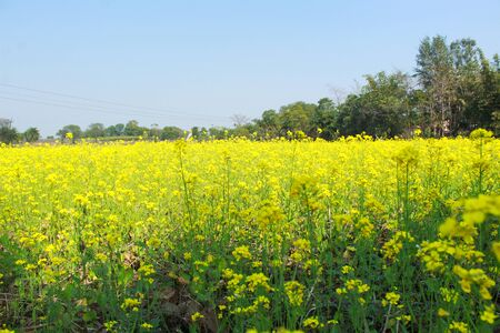 green and yellow mustard plant Фото со стока