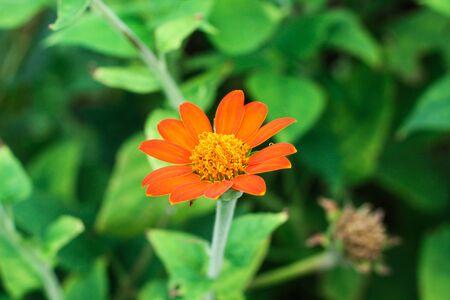 red color dalia flower in a garden Фото со стока