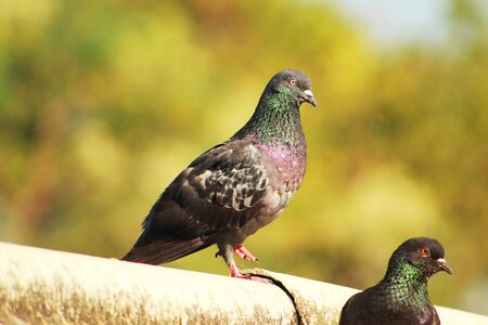 pigeon sitting over the roof at a winter season with a de focous soft  background