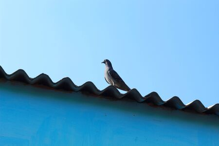 pigeon walking over the roof with soft de focus background