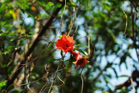 pomegranate flower granatum Фото со стока