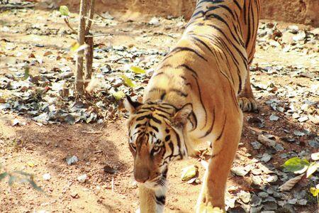 panthera tigris or tigress standing Фото со стока