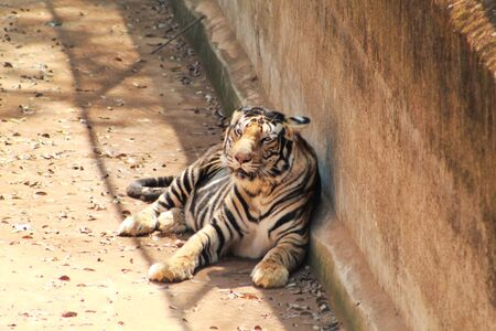 panthera tigris resting in a shadow place Фото со стока