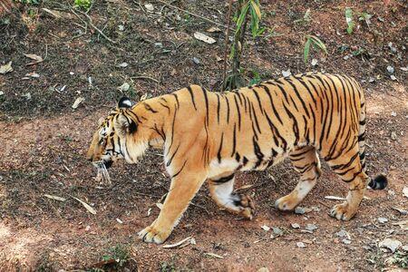panthera tigris walking tiger tigress