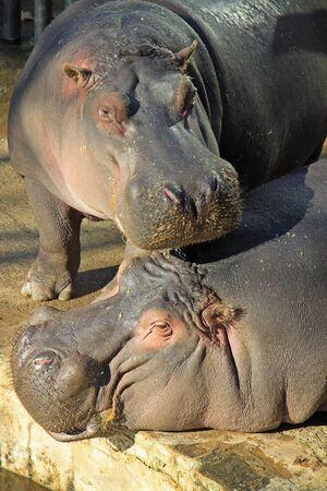 hippopotamus: Hipop�tamo en el Zoo de Barcelona