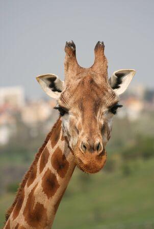 jirafa: Cabeza de una jirafa en un zool�gico Foto de archivo