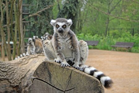 ring tailed: Ring tailed lemur in a Zoo