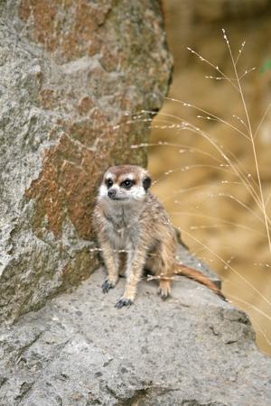 suricatta: Suricate or Meerkat Suricata suricatta, sitting on a stone in Zoo
