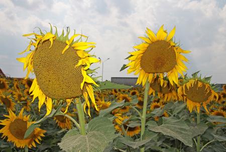 blooming: Blooming sunflowers
