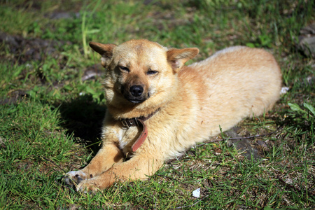 mongrel: Red mongrel dog on the grass