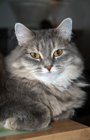 fluffy: Grey fluffy tabby cat Stock Photo