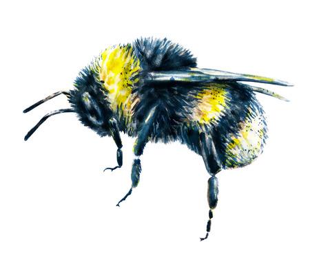 trabajo manual: Abejorro en un fondo blanco. Gráfico de la acuarela. arte insectos. Trabajo manual. Vista lateral