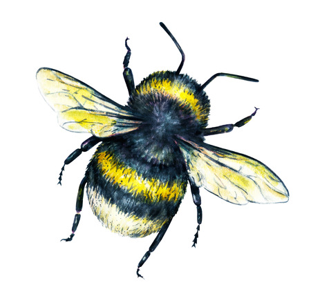 trabajo manual: Bumblebee on a white background. Watercolor drawing. Insects art. Handwork. Top view